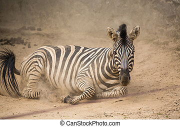 Playful zebra in the dust