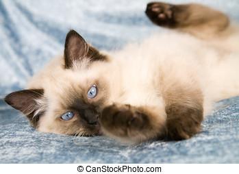 Playfull kitten - Cute ragdoll kitten playing on the couch