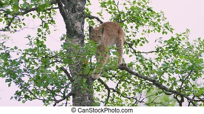 Playfull lynx cat cub climbing in a tree in the forest - ...