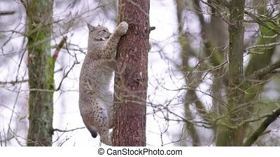 Playfull lynx cat cub climbing in a tree in the forest