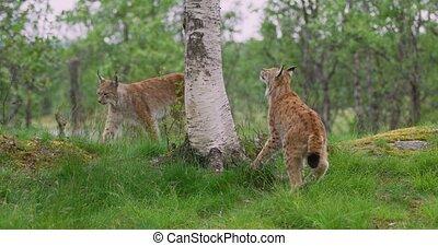 playfull, lynx, kat, welp, beklimming in, een, boompje, in, de, bos