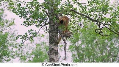 playfull, lynx, kat, welp, beklimming omlaag, een, boompje, in, de, bos
