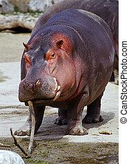 playfull, nijlpaard