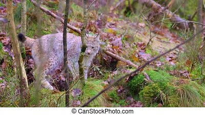 Playfull young lynx cat cub in the forest - Close-up of a...
