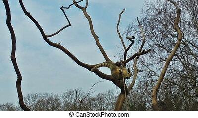 playin, arbre, ciel bleu, lemur