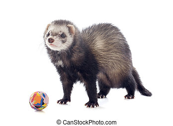 playing brown ferret