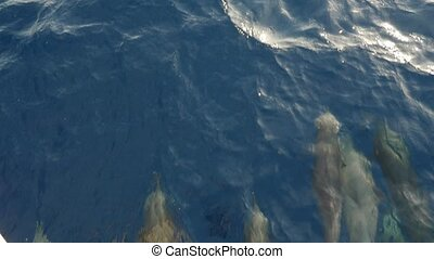 Playing dolphins swimming and diving before a boat in Sharm El Sheikh in slo-mo