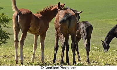playing horse foals on meadow
