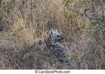 Playing hyena pups 1