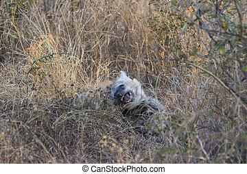 Playing hyena pups 2