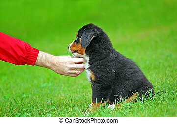 Playing with Bernese mountain dog