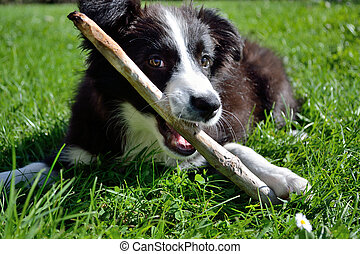plays a young Border Collie - junger verspielter Border...