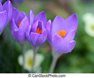 Closeup of crocus petals with bright colors, shallow depth of focus