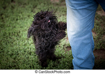 Please hold me in your arms! - Small black curly dog breed ...