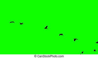 plegadis, écran, voler, mouvement, lent, vert, falcinellus, super, sur