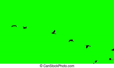 Plegadis falcinellus flying over green screen in super slow...