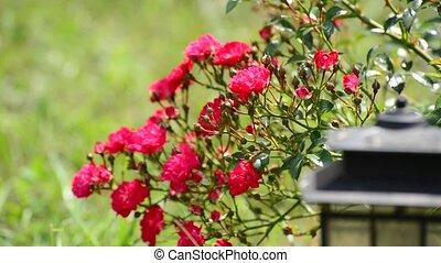 Plentifully flowering bush of pink roses - Plentifully...