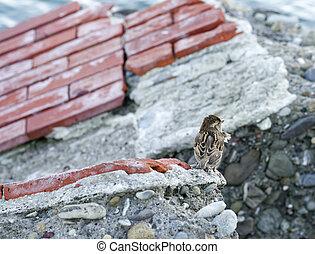 house sparrow - plenty house sparrow on top a rock