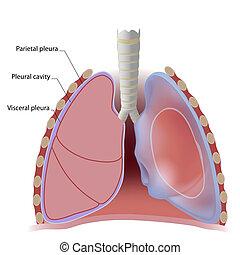 pleural, cavité, poumon, plèvre