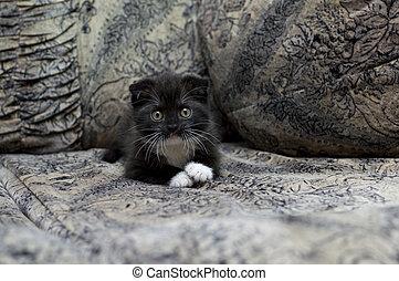 pli, reposer, chaton, écossais, sofa