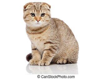 pliegue, escocés, gato