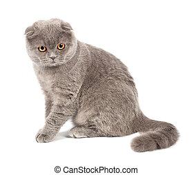 pliegue, escocés, gato gris