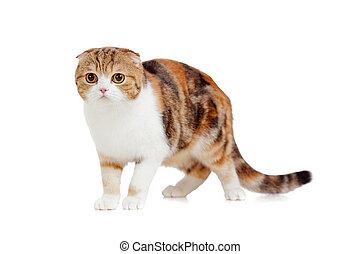 pliegue, escocés, maduro, gato
