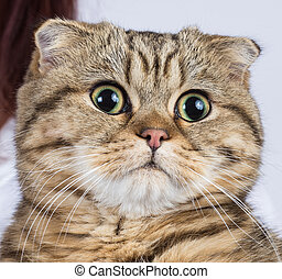 pliegue, sscottish, gato