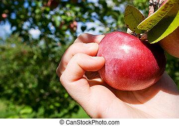 plockning, äpple