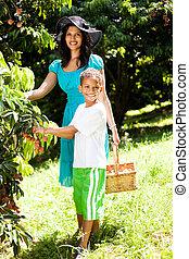 plockning, son, litchiplommon, fruktträdgård, mor