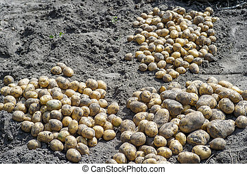 ploegen, aardappels, grond, tuin, na, gele, gesorteerde, uit, tubers