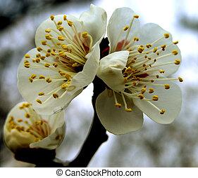 plommon, blomningen
