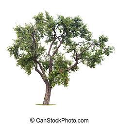 plommon träd