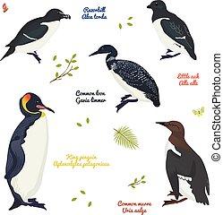 plongeon, roi, différent, ensemble, auk, manchots, oiseaux, razorbill, commun, murre, peu