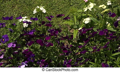 Plot of purple and white pansies - Small pan across a group...
