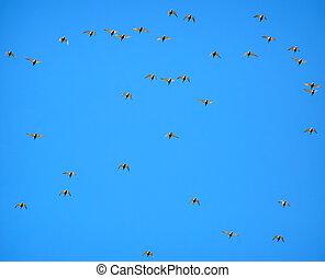 Plover flight