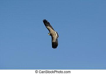 Plover in flight
