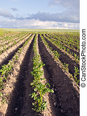 Plow potato vegetable agricultural field backdrop