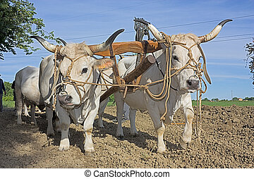 plowing with bullocks - bullocks with yoke to pull the plow...