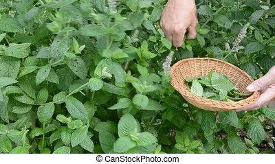 pluck mint fresh medical herbs