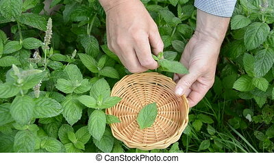 plucking mint fresh medical herbs