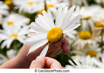 plucking, petals, из, , маргаритка