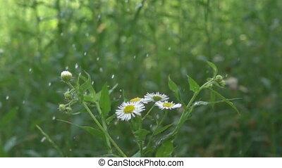 pluie, soudain, fleur, pré