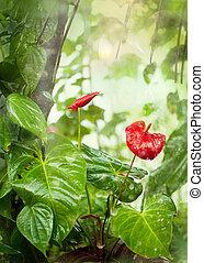 pluies, anthurium, mousson, fleurs tropicales, jardin, sri ...