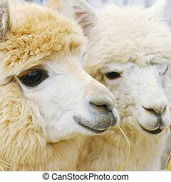 pluizig, twee, alpacas