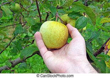 pluk, appel, hand
