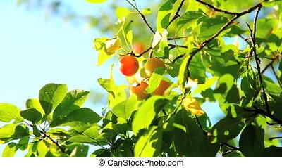 Plum and plum tree