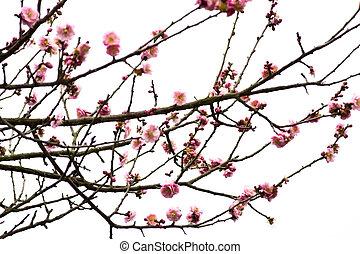 Plum Blossom on White Background