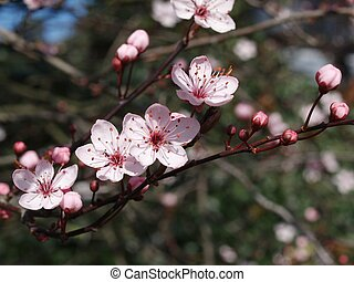 Pink blossom of a prune tree