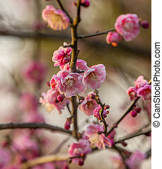 Plum Blossoms West Lake Hangzhou Jiangsu China - Plum...